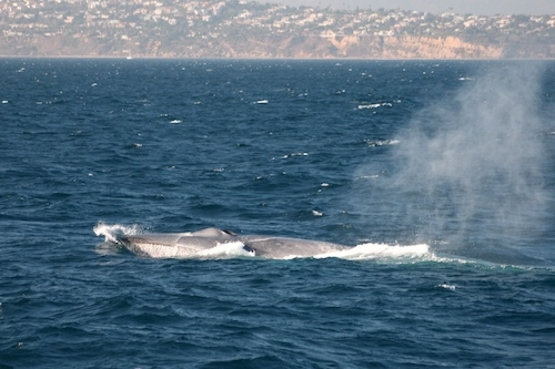 Getting Questions Answered About Blue Whales from an Expert