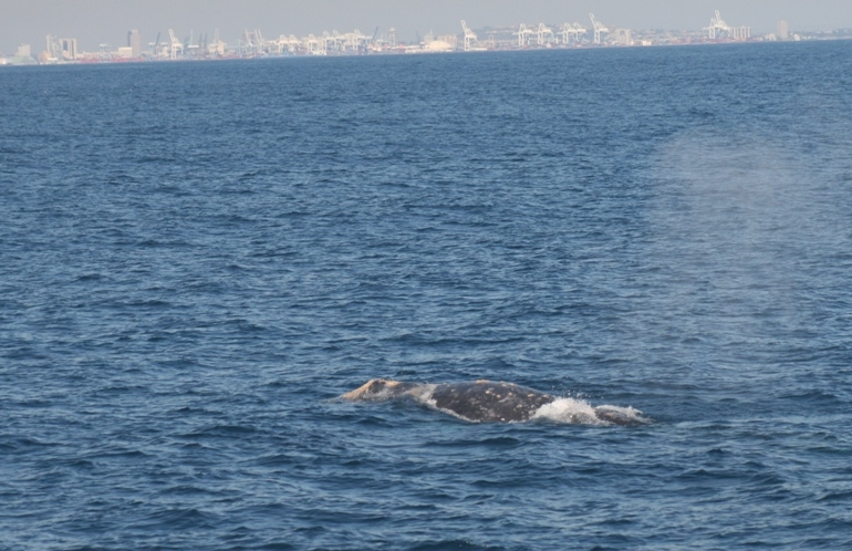 One Heck of a Gray Whale Migration!