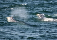 The American Cetacean Society Brings us Good News!