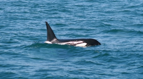 Killer Whales Finally Make Their Debut for the Year!