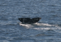 Gray Whale Sightings Are Exceeding Last Year's…by a Long Shot!