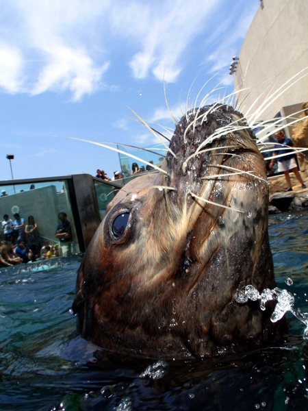 Miller the Sea Lion's 29th Birthday