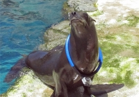 Sea Lion-Cam with Milo…and Harpo