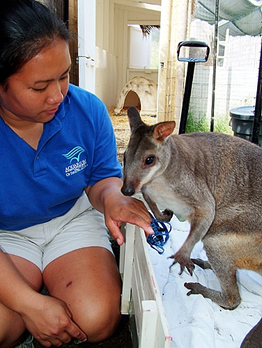 """Wallaby-Wannabe"" Paddington the Dusky Pademelon"