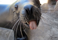 SEA LIONS BLOWING RASPBERRIES AND OTHER FUN BEHAVIORS