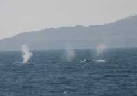 It's Phenomenal Blue Whale Watching!!
