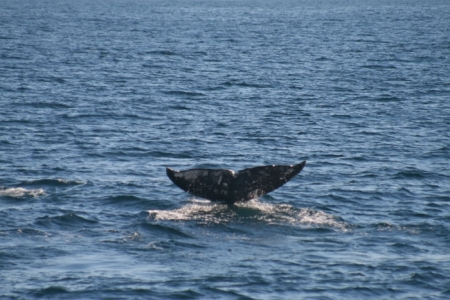 Gray Whales Arrive in Long Beach in Record Numbers