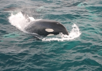 Orcas Gave Us a Once in a Lifetime Sight!