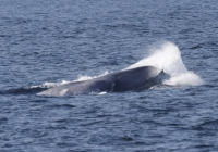 Racing Blue Whales and Orcas!