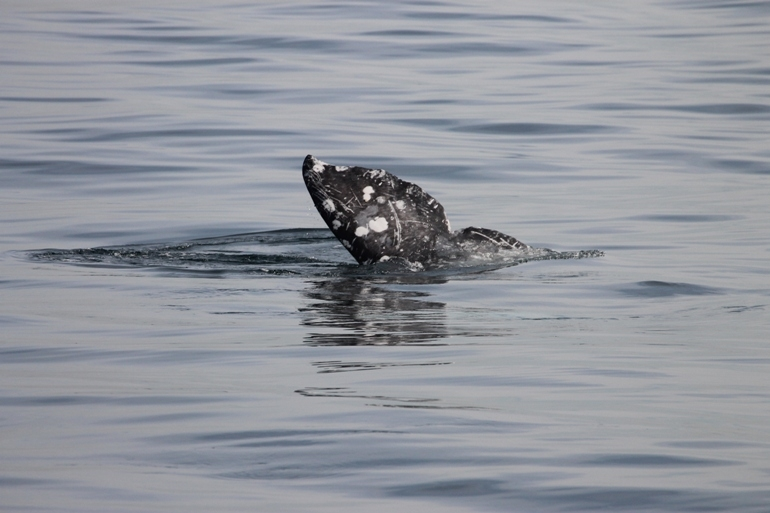 Love is in the Air for Gray Whales Too!
