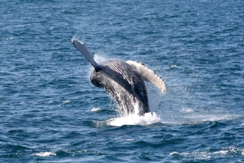 As Gray Whale Season Ends, Dolphin and Sea Life Cruises Begins
