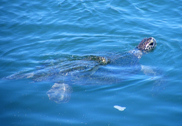 SAN GABRIEL RIVER SEA TURTLE OBSERVATION UPDATE