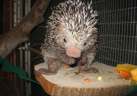 Animal Spotlight:  Meet Tito the Prehensile-tailed Porcupine