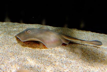 Round Stingray (Round Ray)