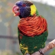 Green Nape Lorikeet