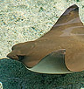 Pacific Cownose Ray