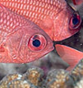 Panamic Soldierfish