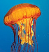 West Coast Sea Nettle