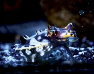 Meet the Aquarium's Fascinating Flamboyant Cuttlefish