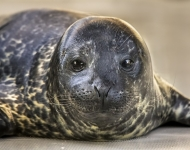 Male Harbor Seal Pup Born at the Aquarium