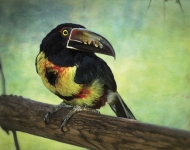 Female Collared Aracari Joins Male on Exhibit