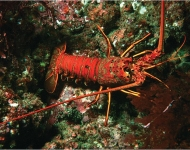SFF Partnership Highlights California Spiny Lobster