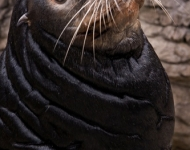 Miller the Sea Lion Retires