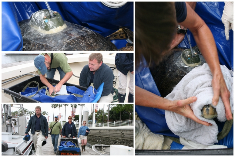 Aquarium Rehabilitates Endangered Green Sea Turtle