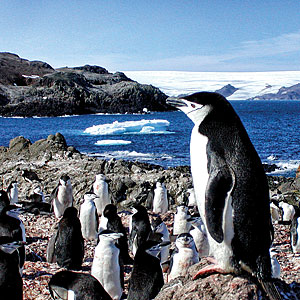 Chinstrap penguins W. Trivelpiece