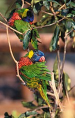 two lorikeets in a tree