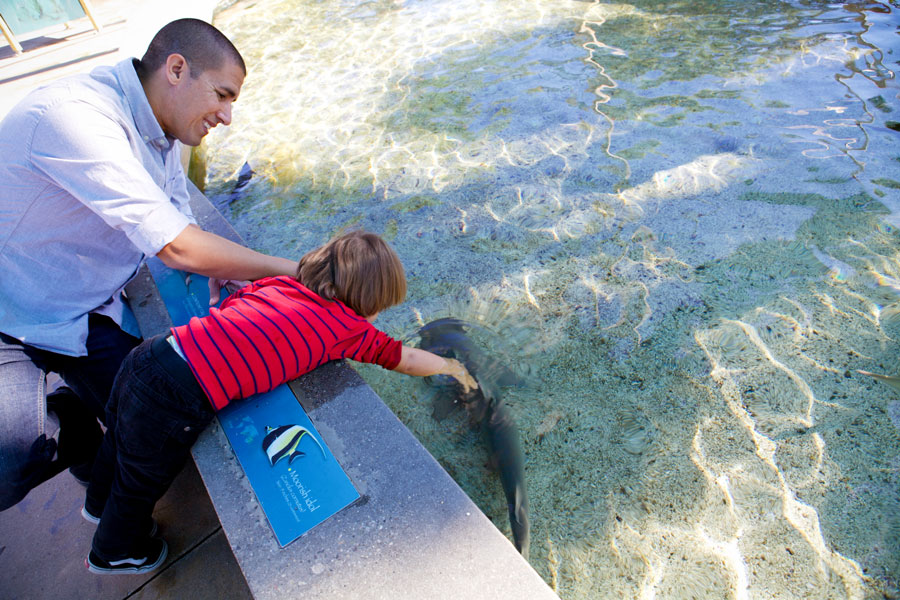 Small boy touches a shark in the water while father smiles.