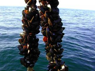 aquaculture mussels NOAA