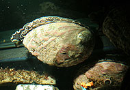 Abalone Rearing and Breeding
