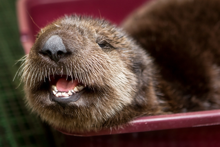 Otter face smiling