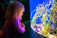 little girl looking at sea horses in an exhibit