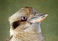 Laughing Kookaburra Now on Exhibit
