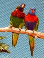 two lorikeets on a branch