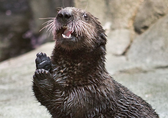 Betty the Sea Otter Now on View