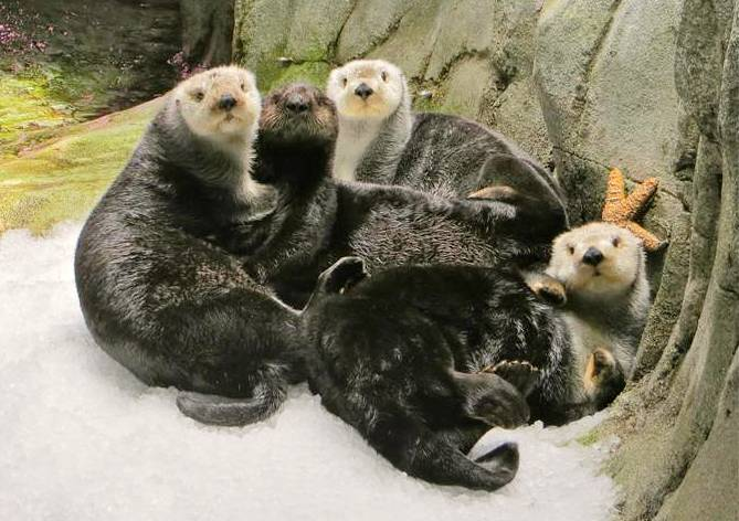 Group of sea otters