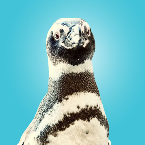 Floyd penguin portrait