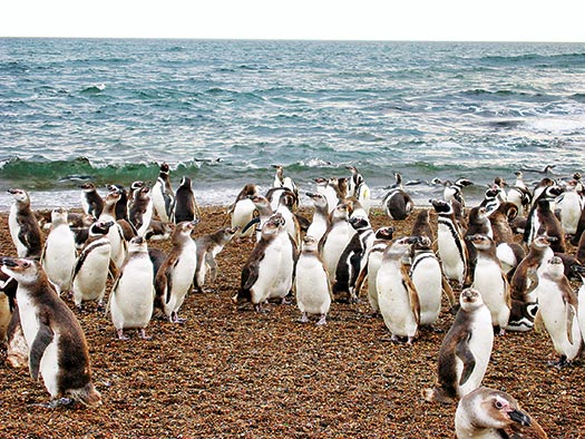 Penguin group beach D. Boersma