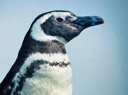 Profile of Magellanic penguin