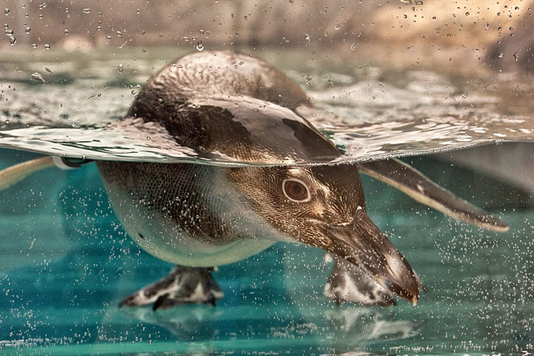 penguin peeking underwater