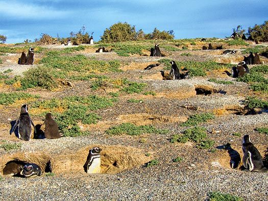 Penguins in burrows D. Boersma