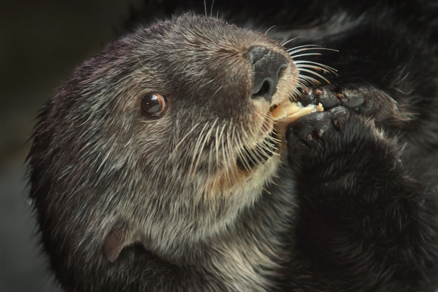 Chloe the sea otter chews on a clam