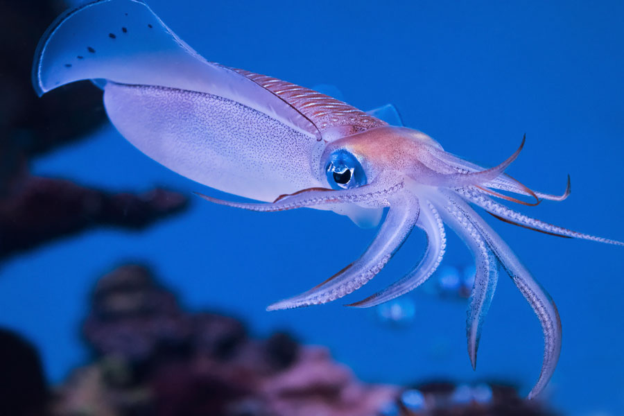 squid on blue background